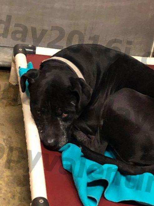 posvojljivi pes preživi drugo zahvalo v zavetišču Ohio